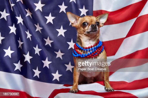 chihuahua standing proudly on USA flag