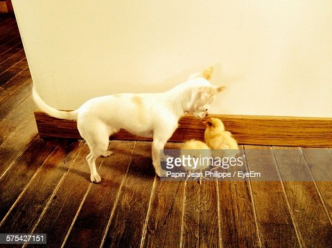 Chihuahua staring baby chickens on hardwood floor stock for Hardwood floors and babies