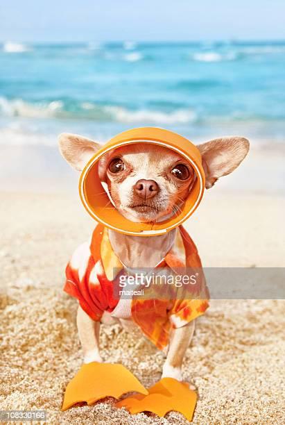 Chihuahua wearing a Hawaiian shirt stood on a beach