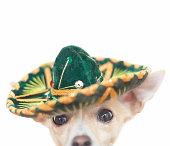 Chihuahua wearing a sombrero