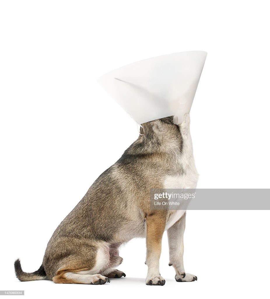 Chihuahua (4 years old) wearing a space collar : Stock Photo