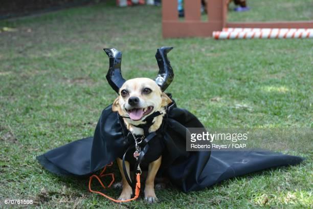 Chihuahua wearing halloween costume