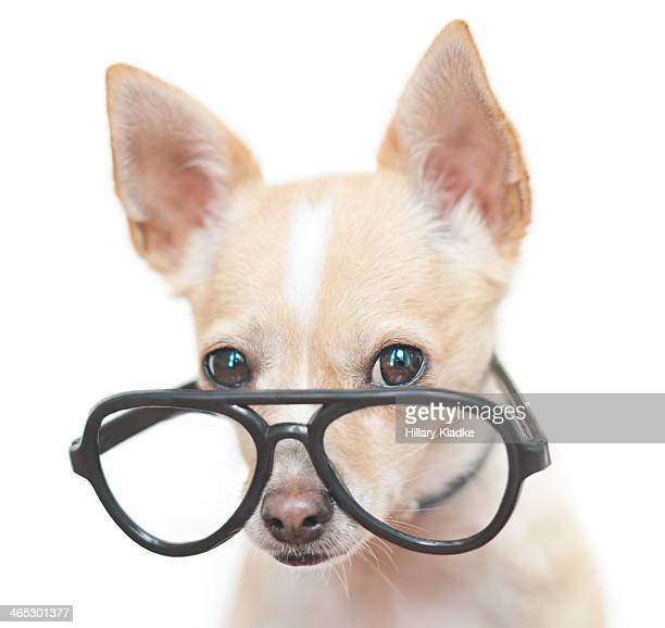 Chihuahua wearing large glasses