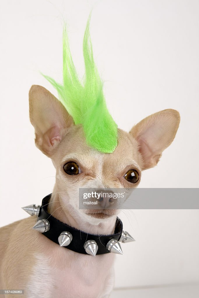 A Chihuahua with a green punk hair