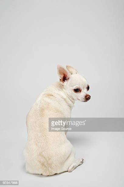 Chihuahua with back to camera