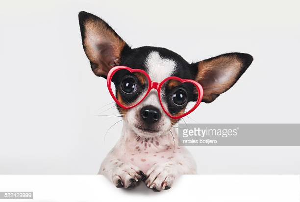 Chihuahua with heart-shaped glasses