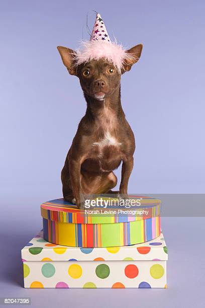 Chihuahua with party hat sitting on gifts