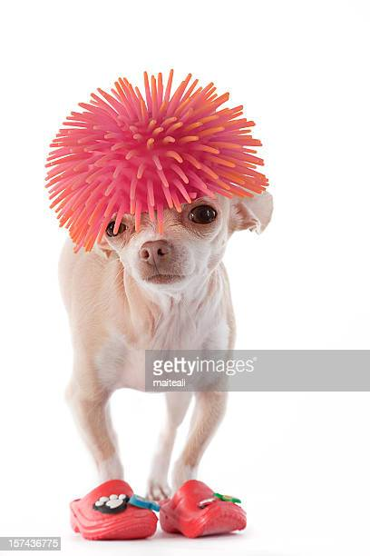 Chihuahua with pink wig and rubber boots