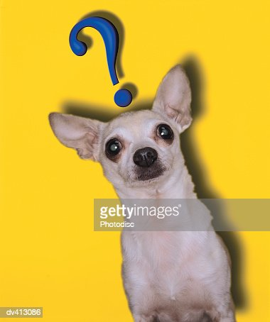 Chihuahua with question mark above head : Stock Photo