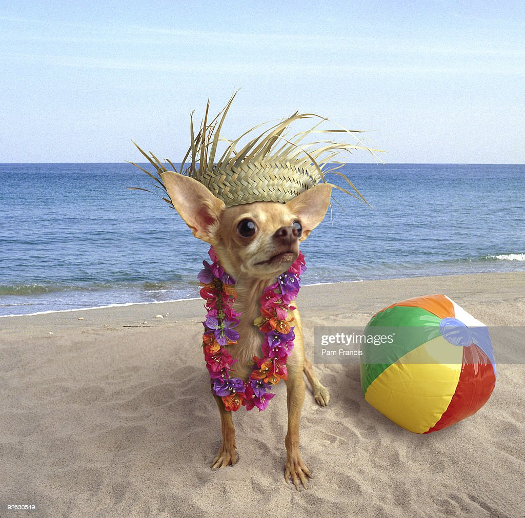 Chihuahua with straw hat, standing on beach : Stock Photo