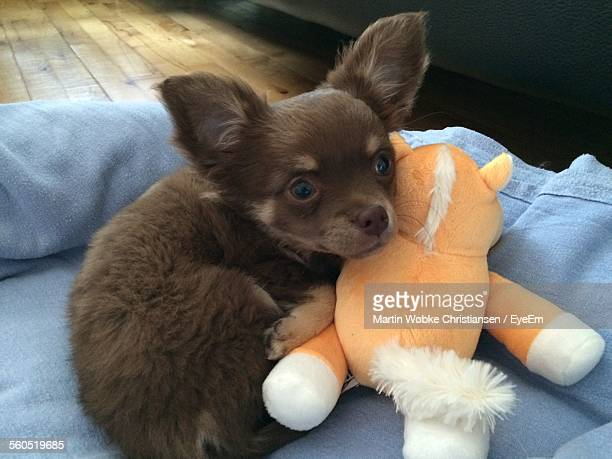 Chihuahua With Stuffed Toy At Home