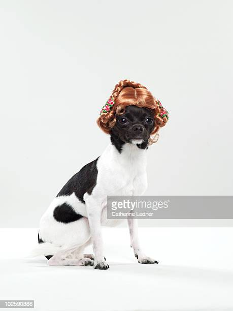 Chihuahua (Canis lupis familiaris) with wig.