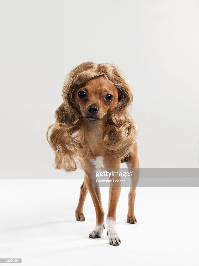 Chihuahua (Canis lupis familiaris) with wig. : Stock Photo