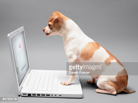 Chihuahua working on laptop computer : Stock-Foto
