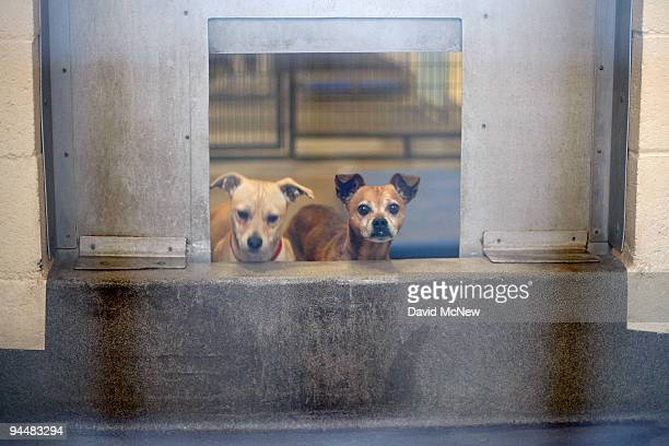 Chihuahuas await adoption at a Los Angeles Department of Animal Services shelter on December 15 2009 in os Angeles California December 15 2009 in Los...