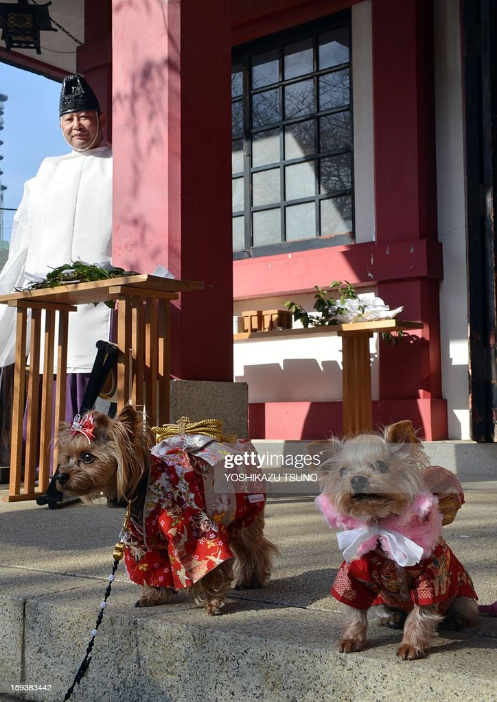 Chihuahuas dressed in costumes look on after a purification ceremony, while a Shinto priest (L) stands at the Ichigaya Kamegaoka-Hachiman shrine in Tokyo on January 13, 2013. Some 500 pet owners visited the shrine to celebrate the New Year and pray for the health and happiness of their animals. AFP PHOTO / Yoshikazu TSUNO