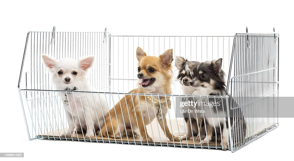 Chihuahuas in a cage : Stock Photo