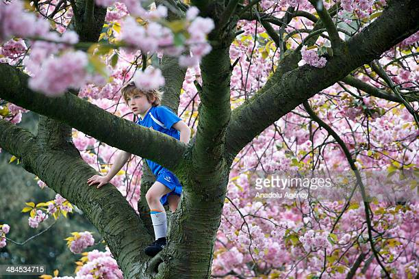 A child climbs a fully bloomed cherry blossom tree at Greenwich Park in London on April 11 2014 as temperature hits 17C at weekend and forecasts...