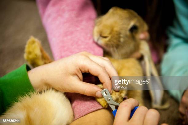 Child grooming a rabbit in preparation for show at Tanana State Fair in Alaska