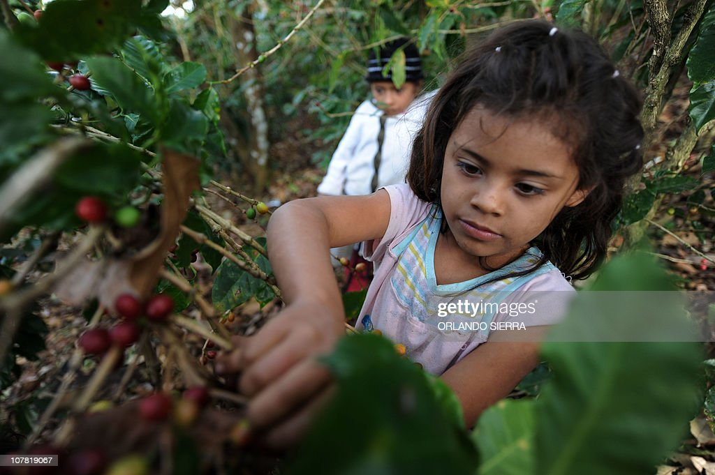 A child harvests coffee beans in the department of El Paraiso 120 km east of Tegucigalpa December 20 2010 Honduras a country that hopes to become the...