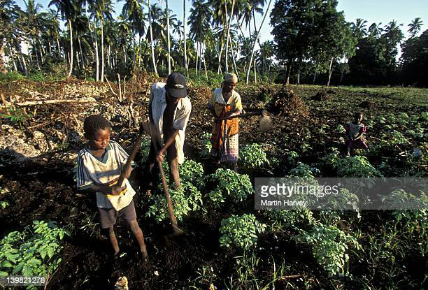 Child helping family at subsistence farming, Zanzibar Island, Tanzania, Africa (Intensive subsistence farming has destroyed most of natural vegetation.)