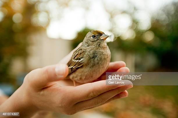 Child holding a house sparrow in their hand
