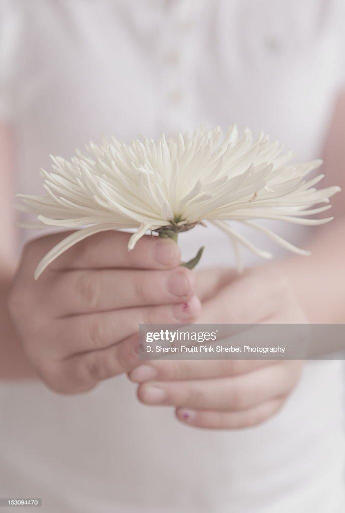 Child holding white chrysanthemum flower : Stock Photo
