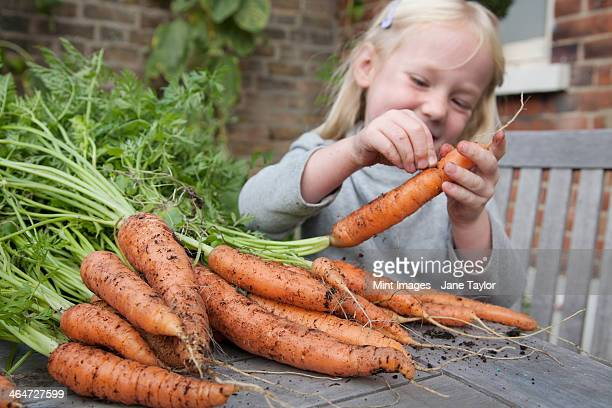 A child inspecting freshly picked carrots with mud on them.
