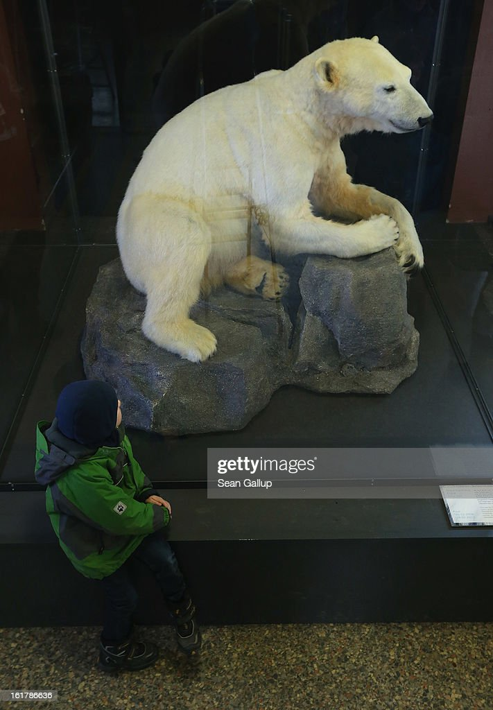 A child looks at a model of Knut the polar bear, that features Knut's original fur, on the first day it was displayed to the public at the Natural History Museum on February 16, 2013 in Berlin, Germany. Though Knut, the world-famous polar bear from the Berlin zoo abandoned by his mother and ultimately immortalized as a cartoon film character, stuffed toys, and more temporarily as a gummy bear, died two years ago, he will live on additionally as a partially-taxidermied specimen in the museum. Until March 15, the dermoplastic model of the bear will be on display before it joins the museum's archive, though visitors can see it once again as part of a permanent exhibition that begins in 2014.