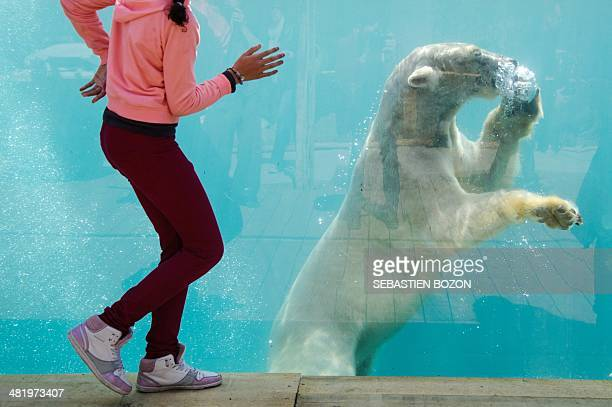 A child looks at a polar bear during the opening day of the new polar area at the zoo of Mulhouse on April 2 2014 AFP PHOTO / SEBASTIEN BOZON