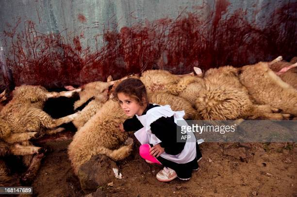 A child touches a slaughtered sheep in the village of Babaj Bokes on May 6 2013 during the celebration of the traditional feast of Saint George's Day...
