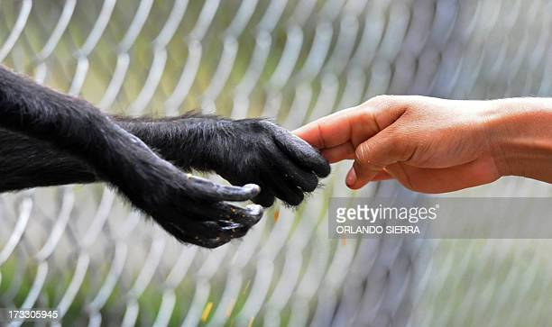 A child touches the hand of a monkey at the Rossy Whalther's Zoo in Tegucigalpa Honduras on July 11 2013 AFP PHOTO /Orlando SIERRA