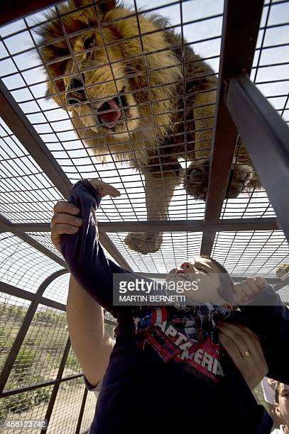 A child watches a lion at close quarters at the Safari Lion Zoo in Rancagua Chile on October 30 2014 the Safari Park Zoo is the only park in Latin...