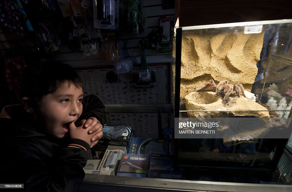 A child watches a spider for sale at an exotic animals shop in Batuco, some 30 km north of Santiago on May 22, 2013. Orellana's farm breeds a species of spiders (Grammostola mollicoma) --which despite its big size are harmless for humans-- and exports them with great success to Europe, Asia and The U.S.A. to be kept as pets. AFP PHOTO / Martin BERNETTI
