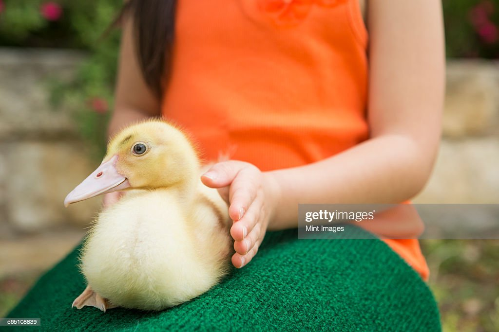 A child with a duckling on her lap.