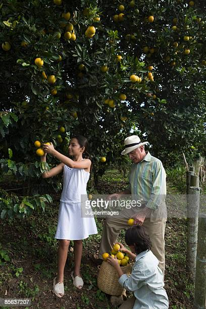Children and man picking oranges in grove , Colombia