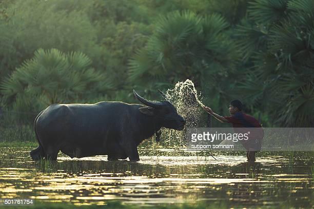Children bathe the buffalo