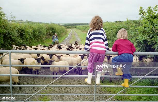 Children climb a gate to watch sheep in Devon England