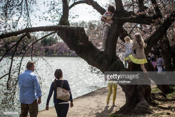 Children climb in a cherry tree at the Tidal Basin where the trees are just beginning to bloom on April 7 2013 in Washington DC The blossoms are late...