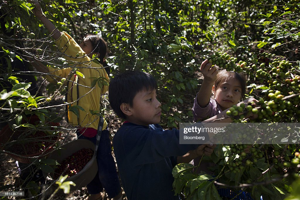 Children help their families pick coffee beans on a small parcel damaged by the roya coffee fungus near Antigua, Guatemala, on Saturday, Feb. 9, 2013. The Guatemalan National Coffee Association said that rust disease, known as roya in Spanish, will destroy 15 percent of the 2012-2013 harvest and as much as 40 percent of next season's harvest. Photographer: Victor J. Blue/Bloomberg via Getty Images