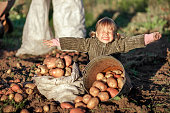 The Children dig up the potato crop.