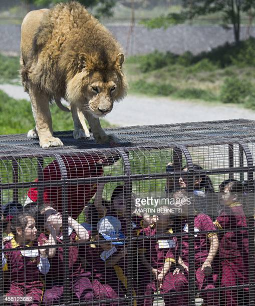 Children inside a cage watch at close quarters a lion at the Safari Lion Zoo in Rancagua Chile on October 30 2014 the Safari Park Zoo is the only...