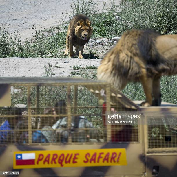 Children inside a cage watch at close quarters lions at the Safari Lion Zoo in Rancagua Chile on October 30 2014 the Safari Park Zoo is the only park...