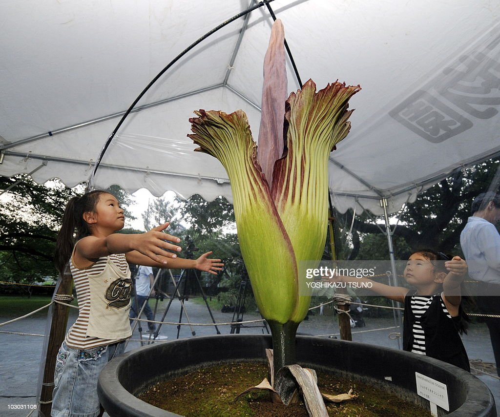 Children look at a giant Titan Arum (Amorphophallus titanum) which started to bloom, at the botanic gardens in Tokyo on July 22, 2010. The Indonesian plant has the world's largest blossom, standing 1.5m in height and smelling like decaying flesh to attract beetles. AFP PHOTO / Yoshikazu TSUNO