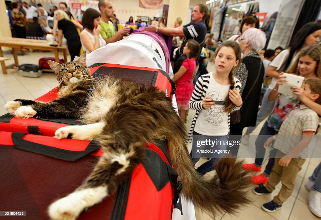 Children look on a cat during the Cat Show 'Royal Feline' in Kiev, Ukraine May 28, 2016. The exhibition presents rare breed cats like dwarf tiger 'Toyger', the tiniest cat in the world, Singapore's cat, Somali's cat and many others.
