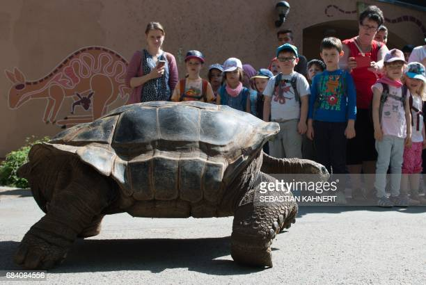 Children look on as an Aldabra giant tortoise leaevs its winter quarters on May 17 2017 at the zoo in Dresden eastern Germany / AFP PHOTO / dpa /...