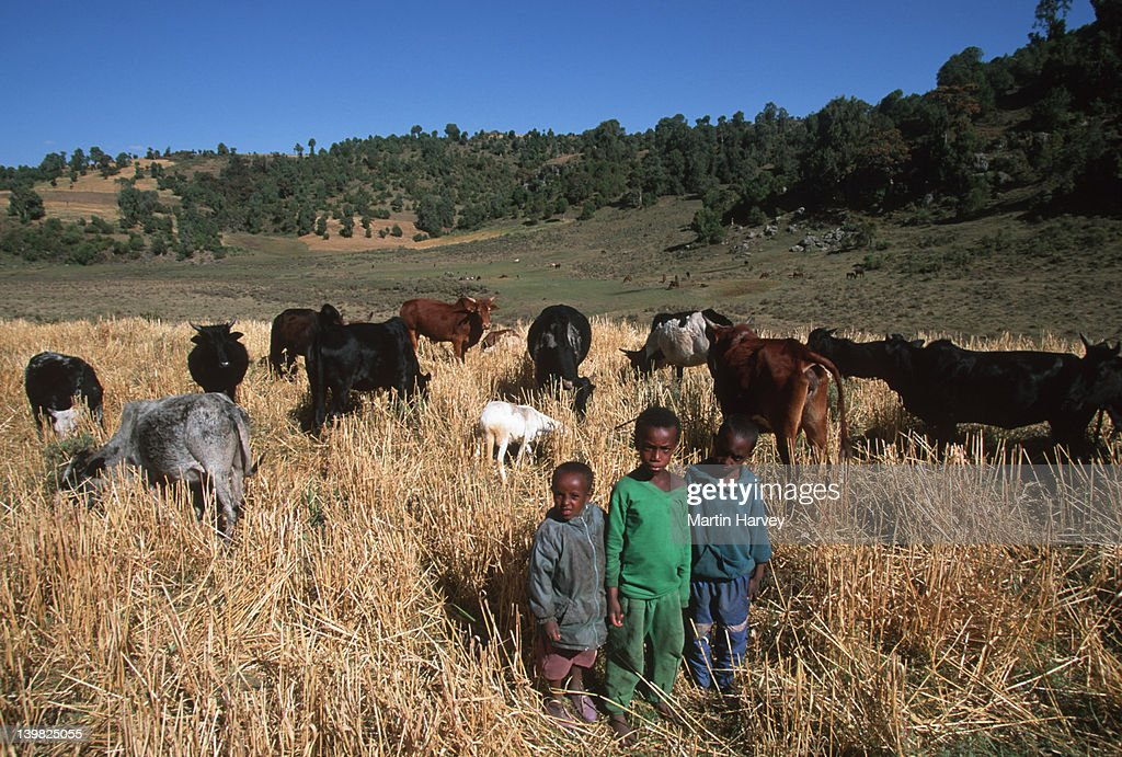 Children of subsistence farmers tend the family~s livestock. Bale Mountains, Ethiopia. : Stock Photo