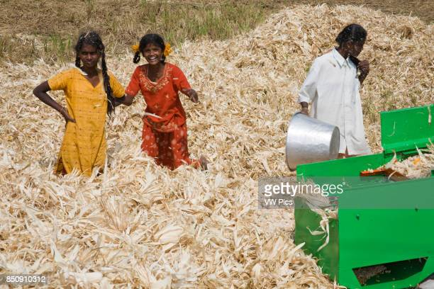 Children on a farm wading through dead leaves removed from corn cobs Tamil Nadu India