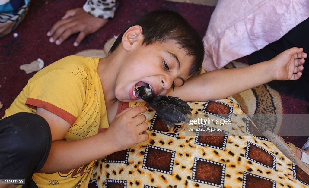 A children plays with a chick as Iraqi people in Fallujah town leave their home due to conflicts between Daesh and security forces in Anbar, Iraq on May 30, 2016. Some of the families who left their home are placed in a school in Karma Town, west of Anbar city.