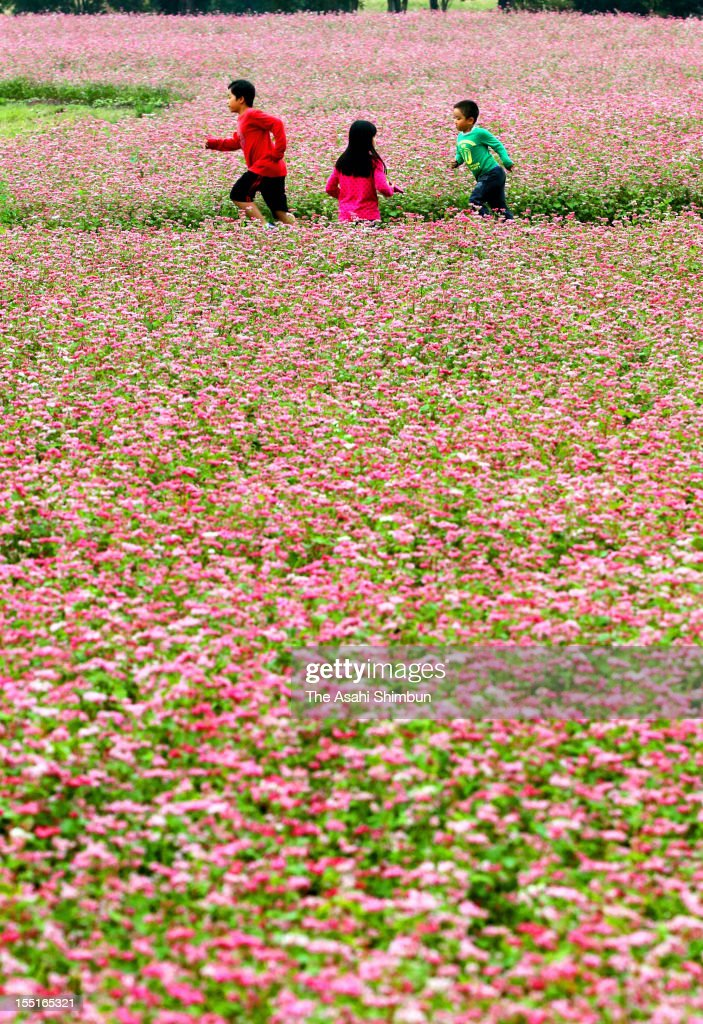Children run among the fully blossomed red buckwheat field at Yoshinogari Historical Park on October 27, 2012 in Yoshinogari, Saga, Japan.